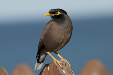 A vivid photograph of a myna bird, a brown and black bird with a yellow beak, looking off to the side as it perches on a wooden fence